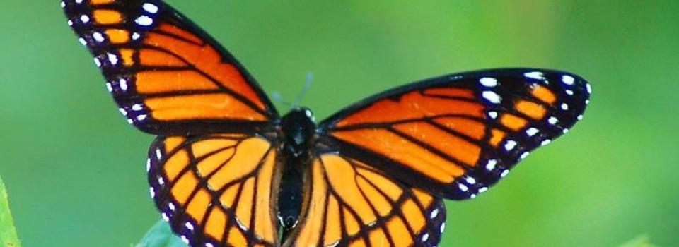 viceroy-butterfly-lg
